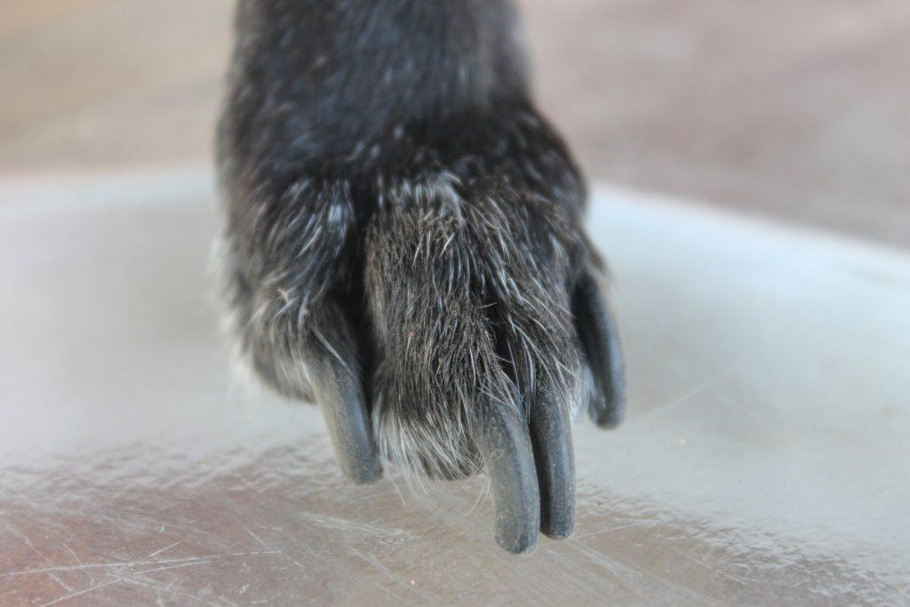 chien griffes longues