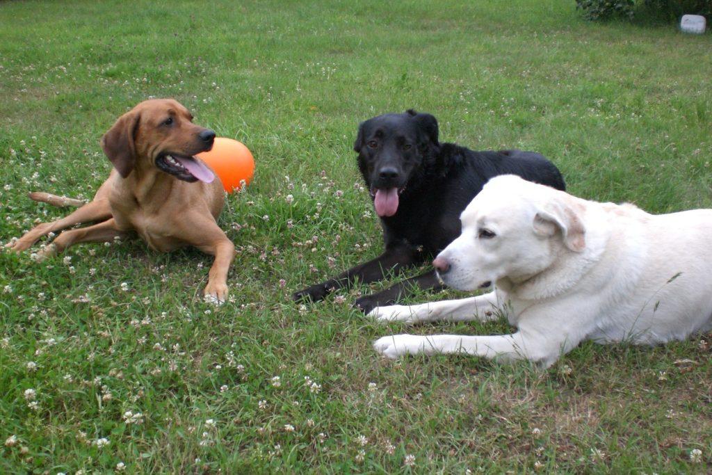 Avantages inconvénients stérilisation de la chienne