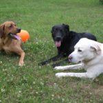 Stérilisation : avantages et inconvénients pour la chienne