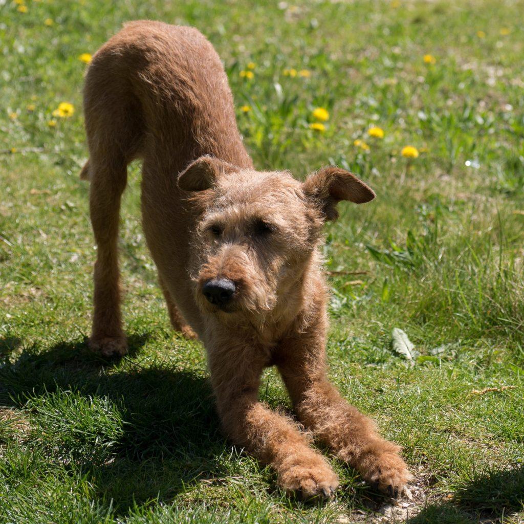 Stretching pour entretenir le physique de son chien âgé