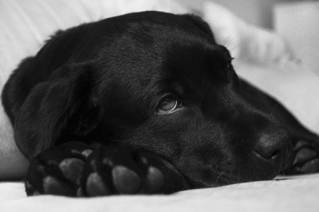 Leishmaniose canine