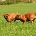 Vers du cœur : risque lié aux moustiques chez le chien