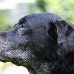 Voyager avec un chien âgé ou handicapé