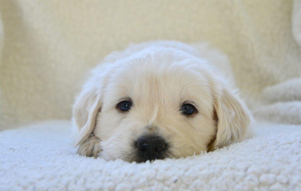 conditions d'élevage des chiens
