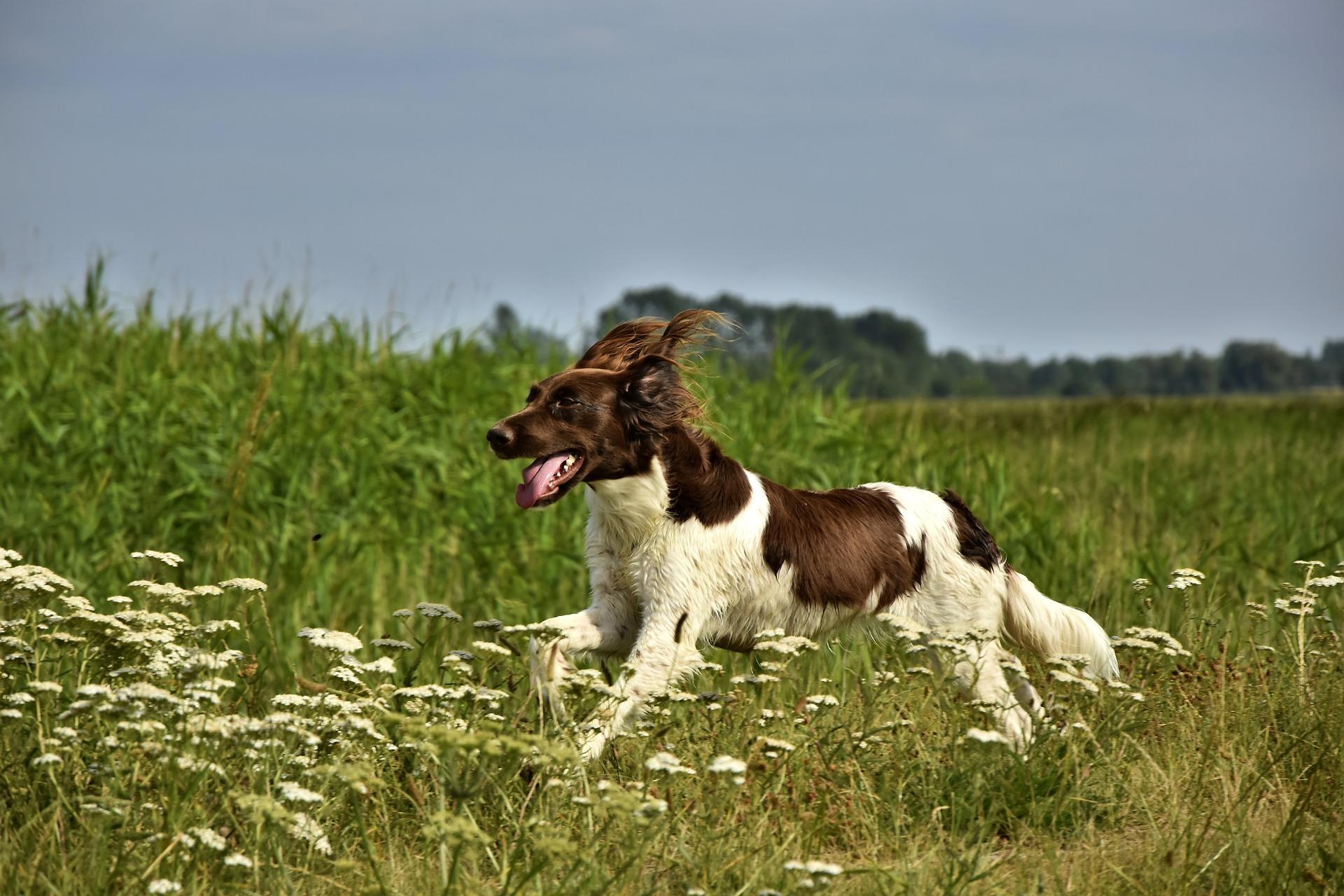 chien dates de chasse