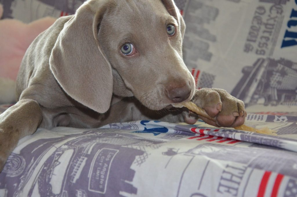 Adoption chien en animalerie : des débuts de vie pas toujours évidents.
