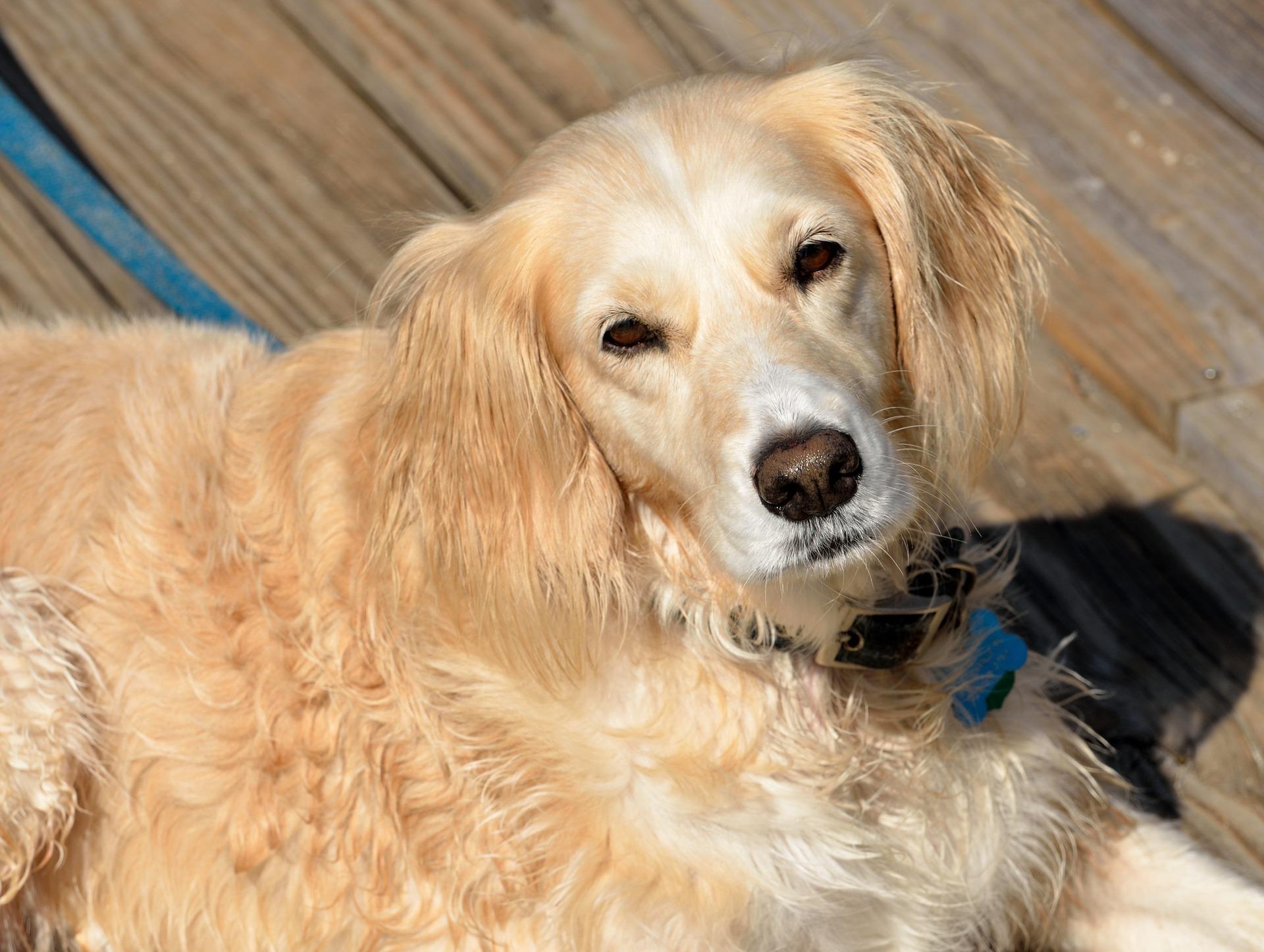 chien adulte adoption