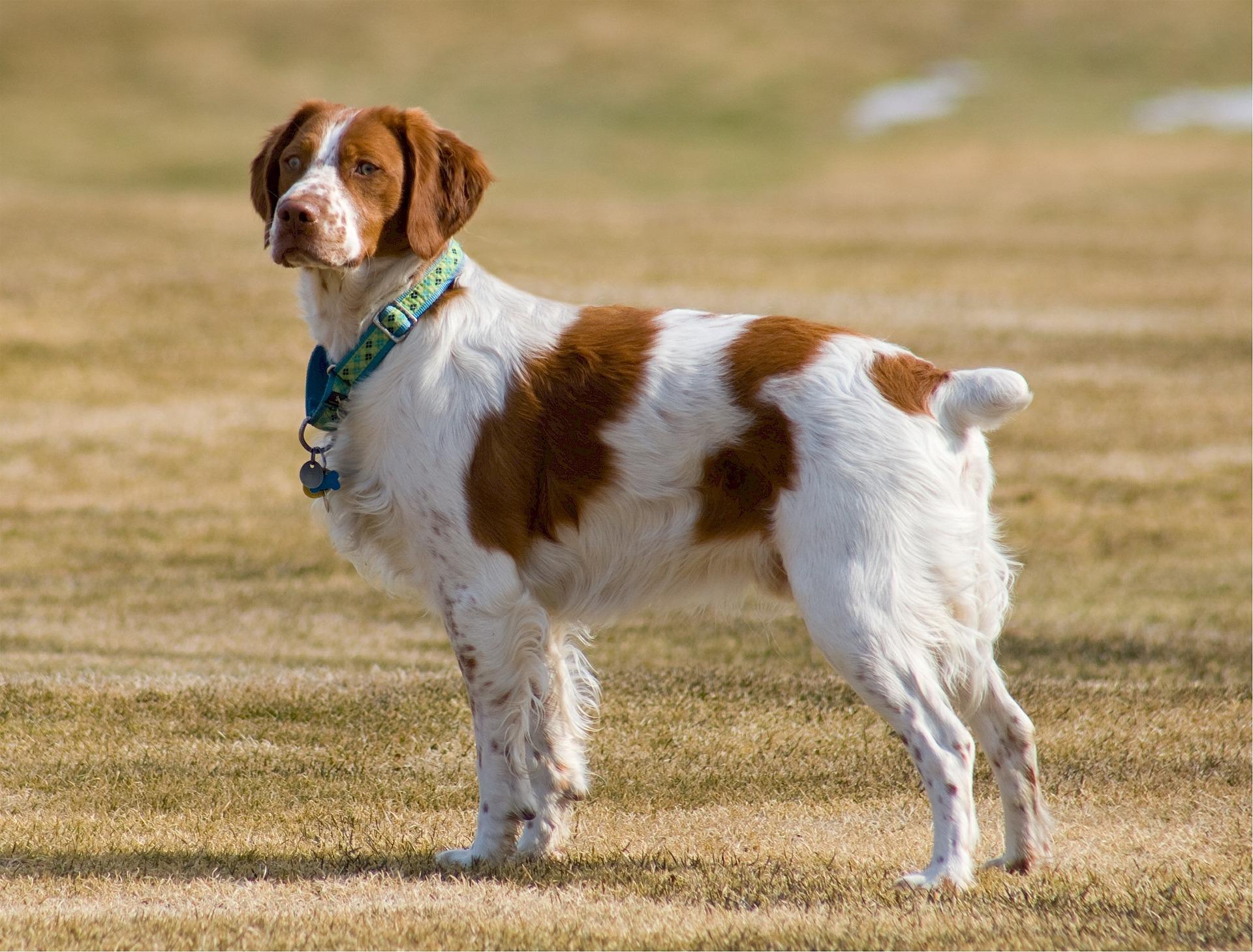 chien visible et sonore en période de chasse