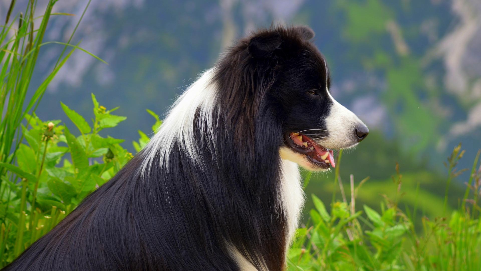 prédation chien