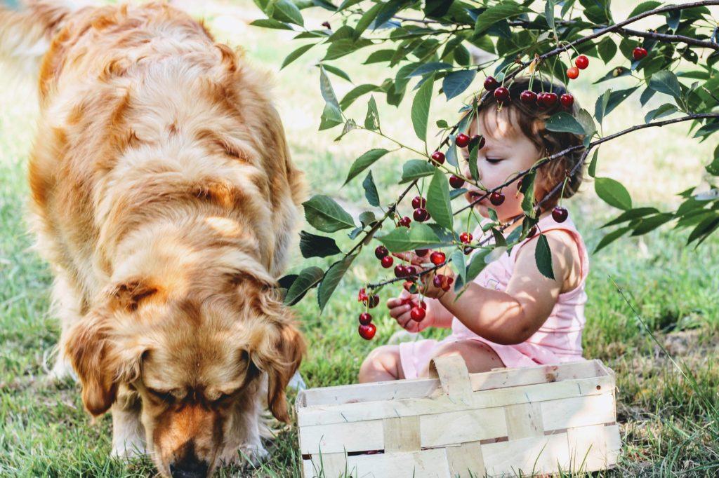 nourrir chien cerises
