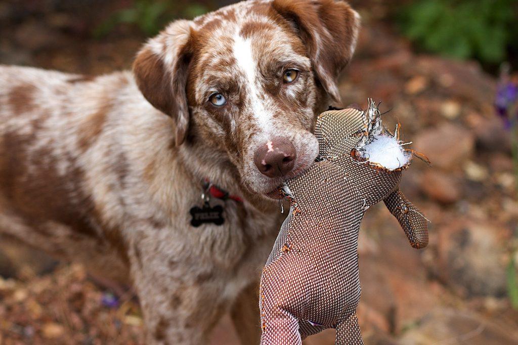 prédation chien l'importance de l'éleveur