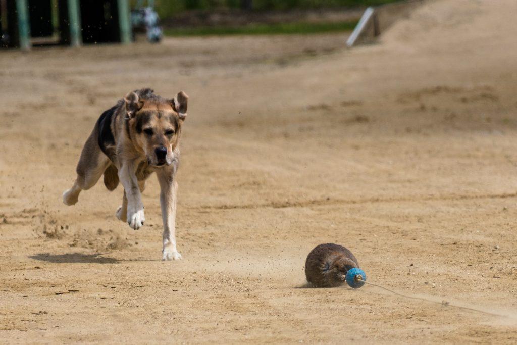prédation chien selon les races