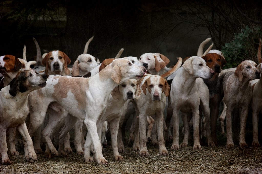 chien période de chasse