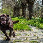 Entraîner un chien au rappel en détaillant son comportement