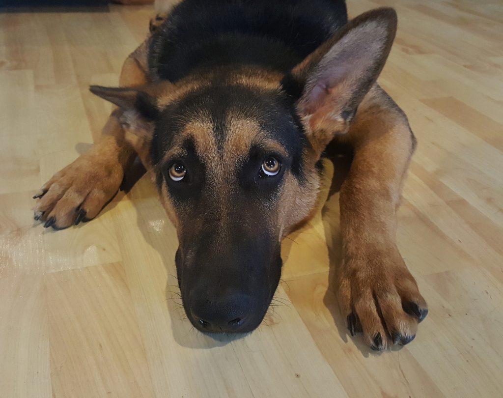 peur chien et réflexes innées