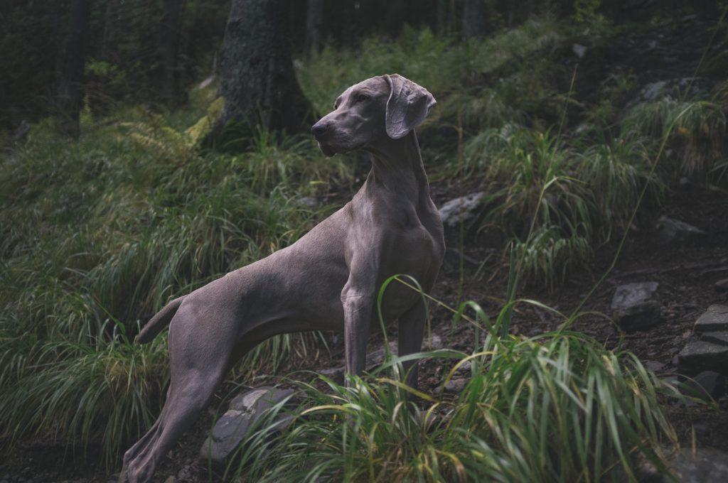 chien période de chasse et réglementation