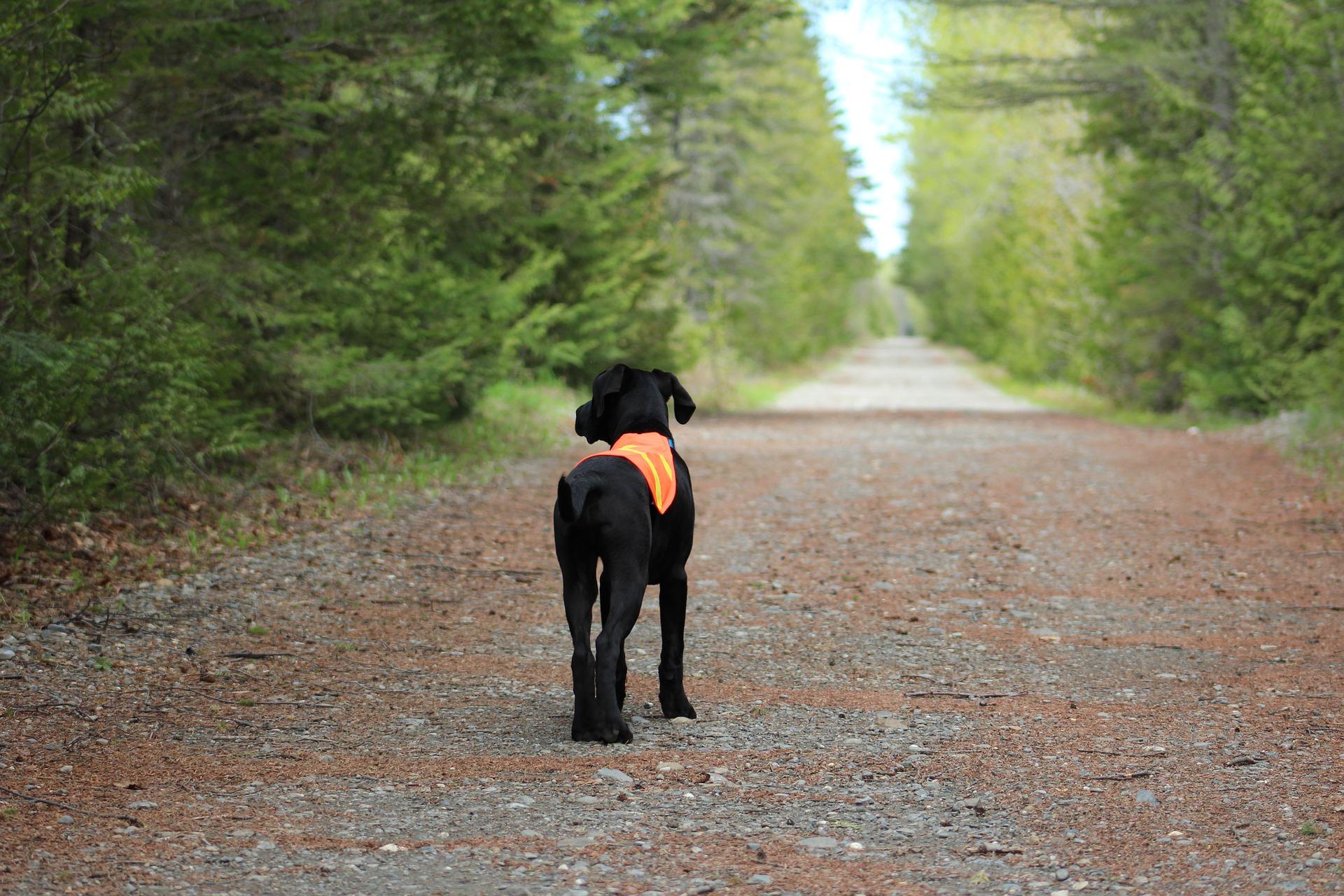 chien gilet fluo période de chasse