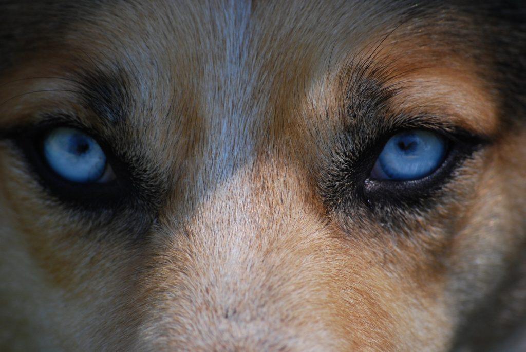 chien vue
