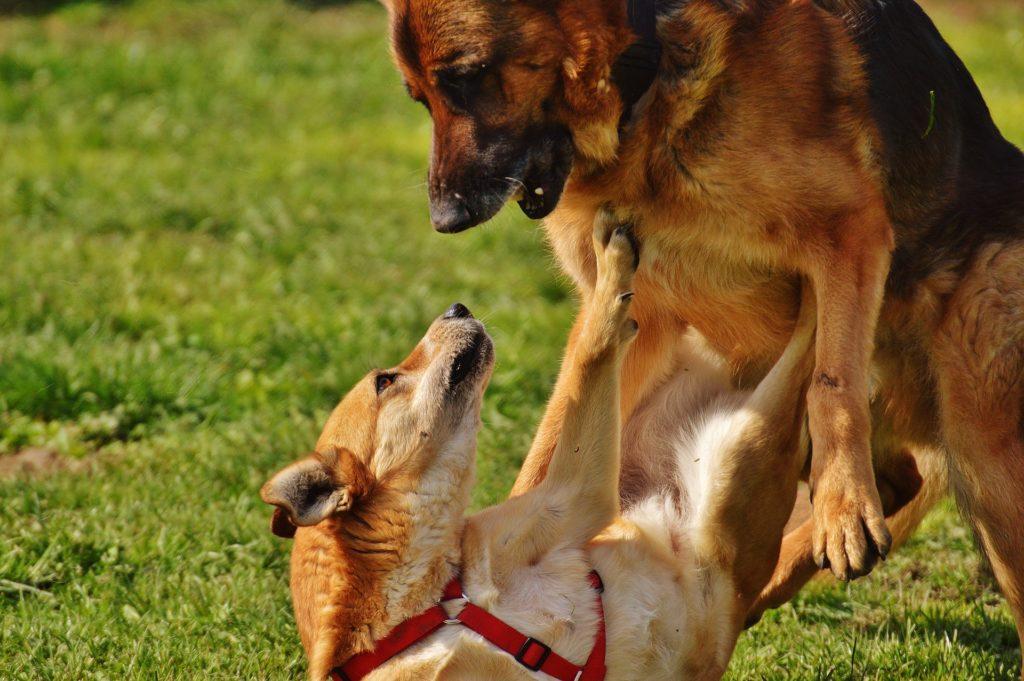 5 techniques pour séparer deux chiens qui se battent