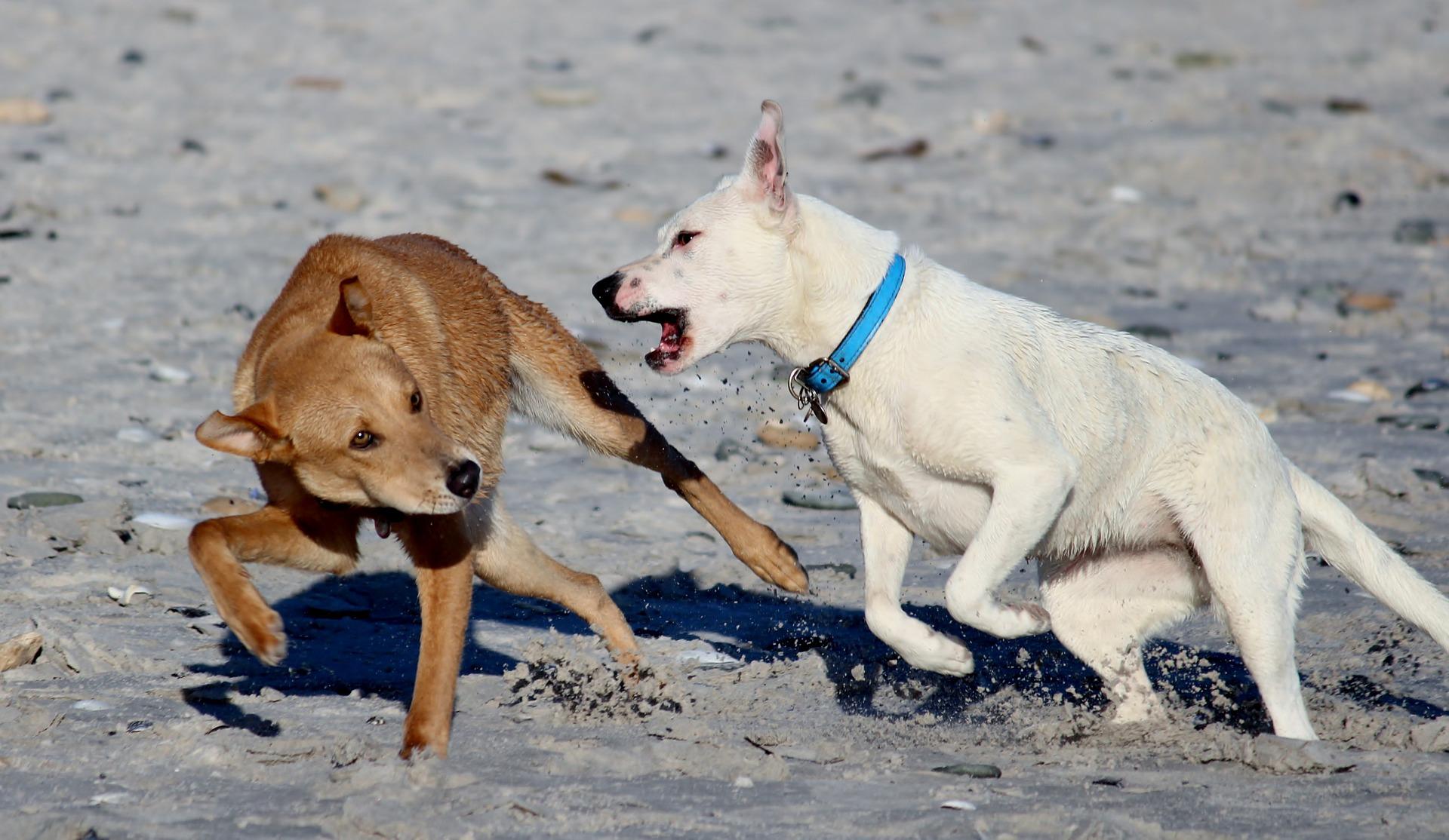 Dans quels cas des chiens peuvent se battre
