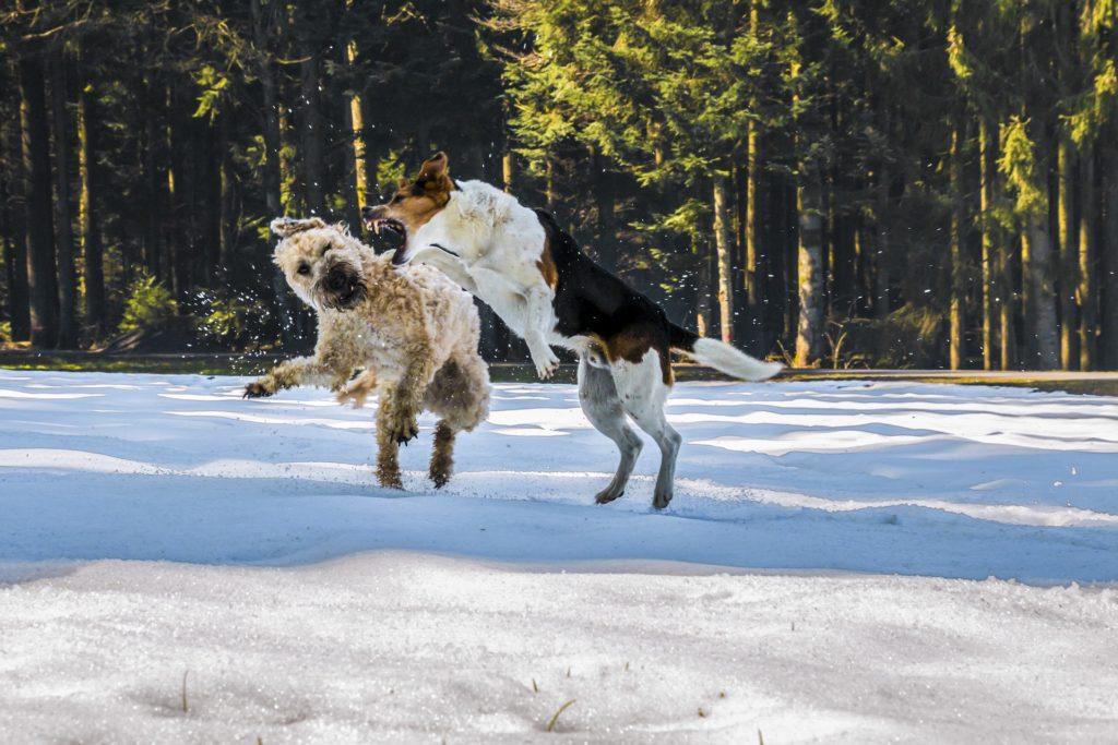 Gérer les bagarres et séparer des chiens