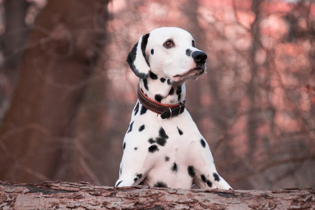 Prendre la mesure du tour de cou de son chien est indispensable pour choisir son collier