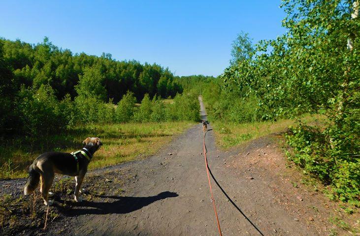 Auberchicourt : le terril Sainte-Marie avec un chien