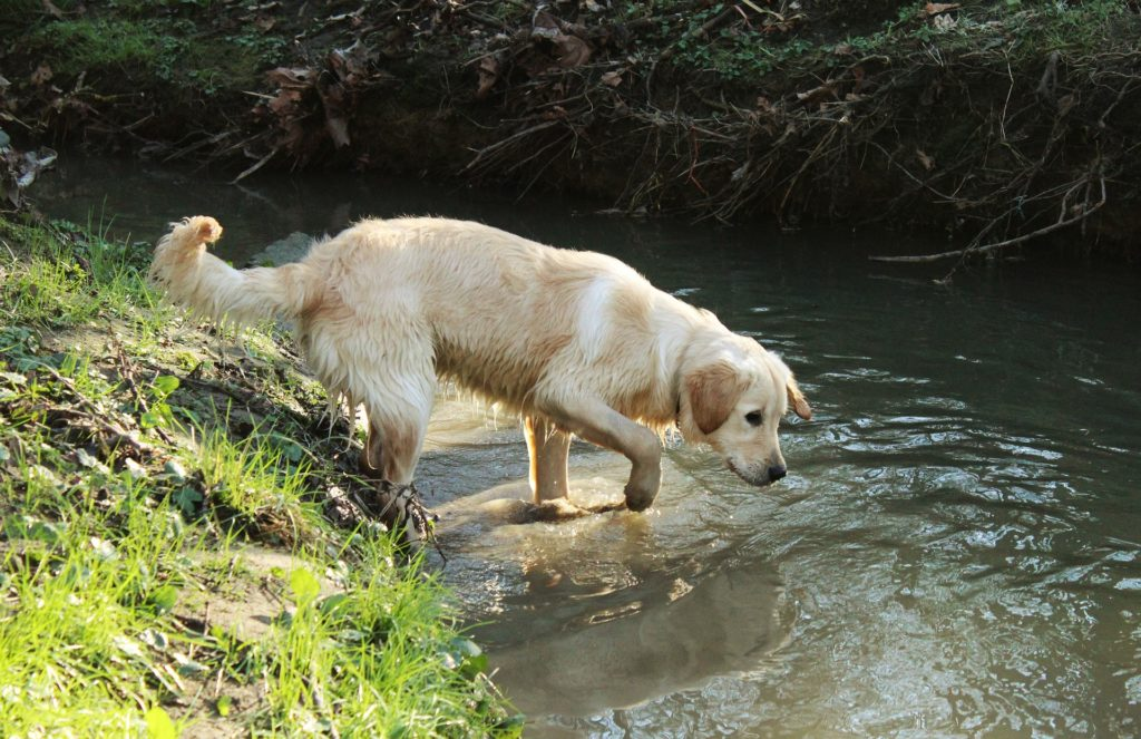 Les risques d'une mauvaise hydratation du chien en randonnée