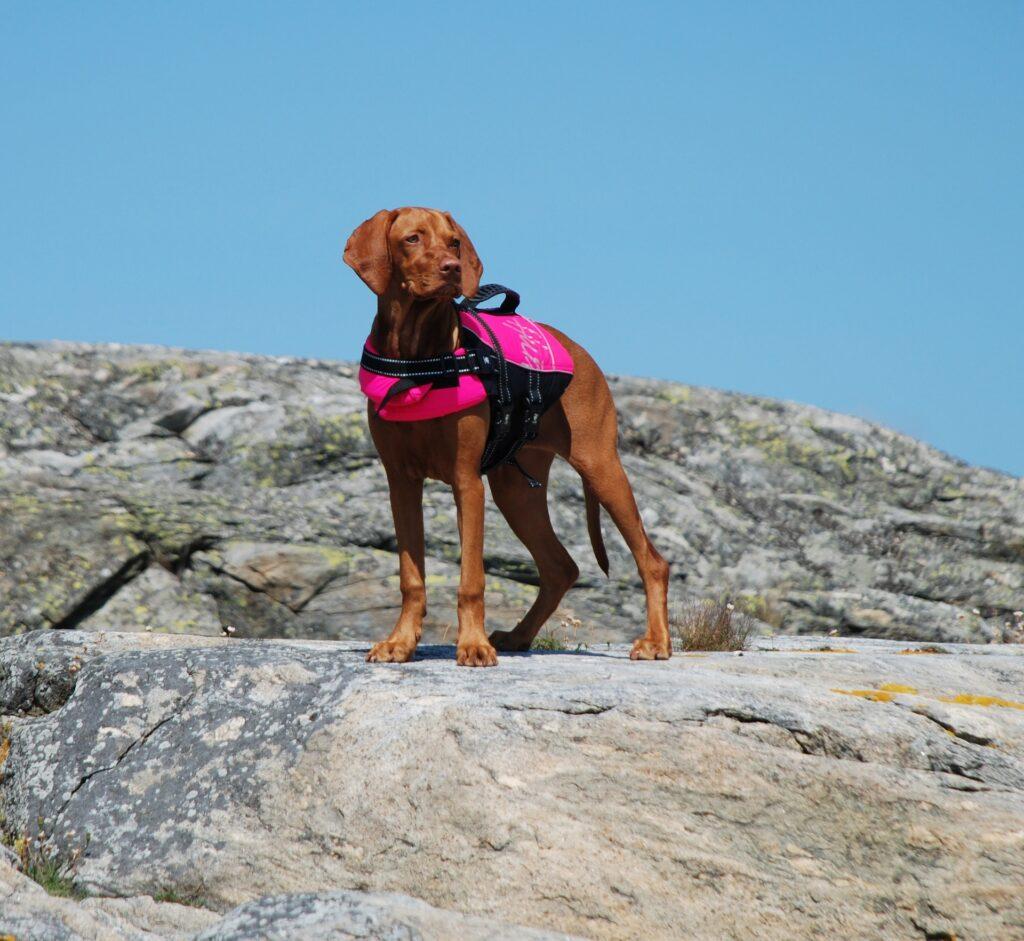 Utilité du gilet de flottaison pour chien